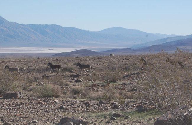 Wild donkeys.